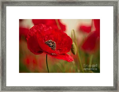 Poppy Dream Framed Print by Nailia Schwarz