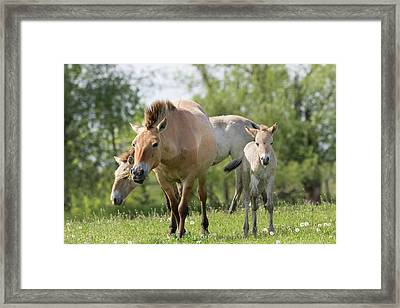 Przewalskis Horse Or Takhi (equus Ferus Framed Print by Martin Zwick