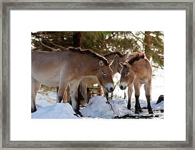 Przewalski's Horse Or Takhi (equus Framed Print by Martin Zwick