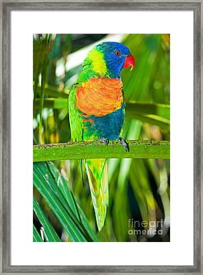Rainbow Lorikeet Framed Print by Millard H. Sharp