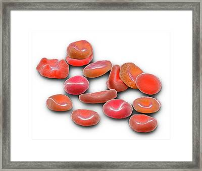 Red Blood Cells Framed Print by Steve Gschmeissner