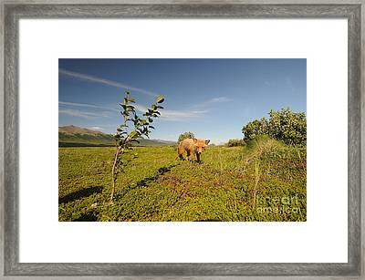 Red Fox Pup Framed Print by William H. Mullins