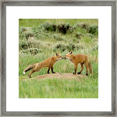 Red Fox (vulpes Fulva Framed Print by Howie Garber