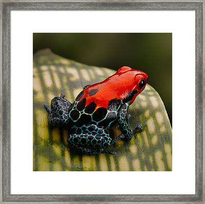 Red Poison Dart Frog Framed Print by Dirk Ercken