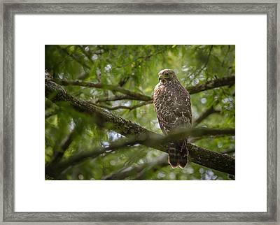 Red Shouldered Hawk Framed Print by Bill Martin