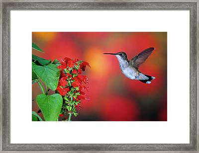 Ruby-throated Hummingbird (archilochus Framed Print