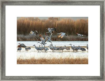 Sandhill Cranes Flying, Grus Framed Print