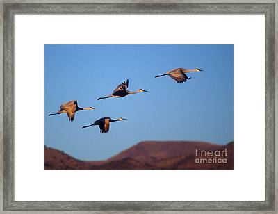 Sandhill Cranes Framed Print by Steven Ralser