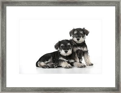 Schnauzer Puppy Dogs Framed Print