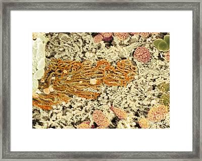Smooth Endoplasmic Reticulum, Sem Framed Print