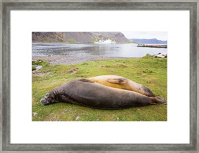 Southern Elephant Seal Framed Print by Ashley Cooper