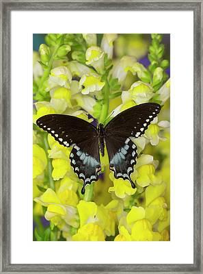 Spicebush Swallowtail, Papilio Troilus Framed Print by Darrell Gulin