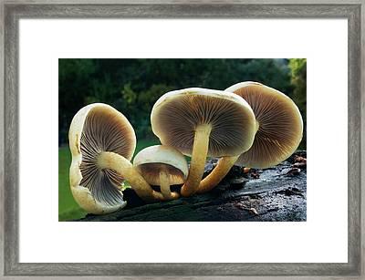 Sulphur Tuft Fungus Framed Print by Nigel Downer