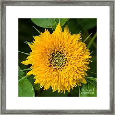 Sunflower Framed Print by Edward Fielding