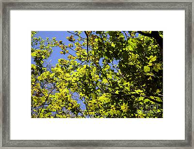 Sycamore Leaves Acer Pseudoplatanus Framed Print by Dr. Keith Wheeler