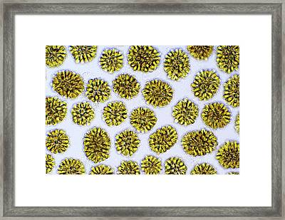 Synura Golden Algae Framed Print by Marek Mis