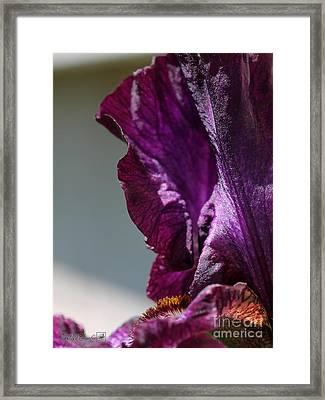 Tall Bearded Iris Named Rosalie Figge Framed Print by J McCombie