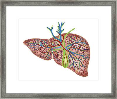 The Liver Framed Print