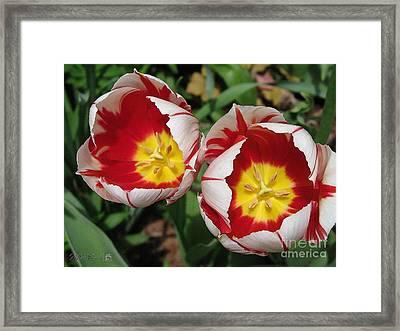 Triumph Tulip Named Carnaval De Rio Framed Print