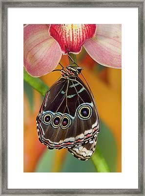 Tropical Butterfly The Blue Morpho Framed Print