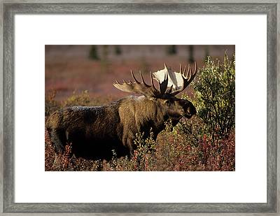 Usa, Alaska, Bull Moose, Denali Framed Print by Gerry Reynolds