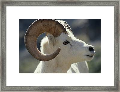 Usa, Alaska, Dall Sheep, Dall Ram Framed Print by Gerry Reynolds