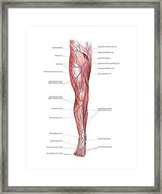 Venous System Of The Lower Limb Framed Print by Asklepios Medical Atlas