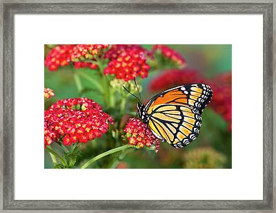 Viceroy Butterfly That Mimics Framed Print by Darrell Gulin
