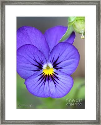 Viola Named Sorbet Blue Heaven Jump-up Framed Print by J McCombie
