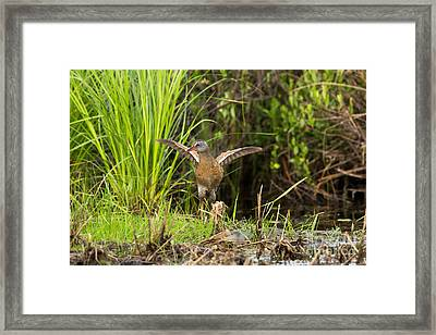 Virginia Rail Rallus Limicola Framed Print by Linda Freshwaters Arndt