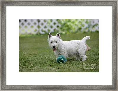 West Highland White Terrier Framed Print by Rolf Kopfle