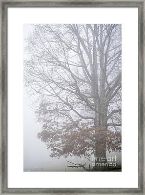 White Oak Tree In Fog Framed Print by Thomas R Fletcher