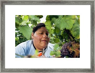 Wine Grape Harvest Framed Print