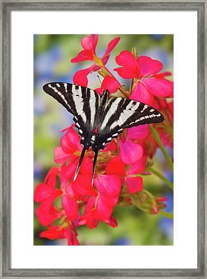 Zebra Swallowtail Butterfly, Eurytides Framed Print