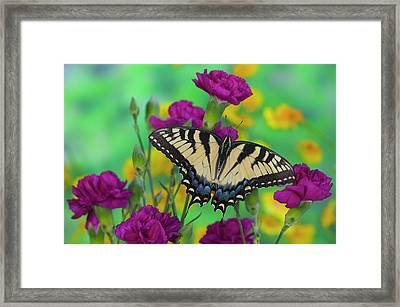 Eastern Tiger Swallowtail Butterfly Framed Print by Darrell Gulin