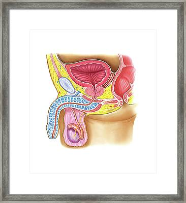 Male Genital System Framed Print by Asklepios Medical Atlas