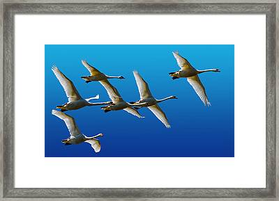 Mute Swans Framed Print by Brian Stevens