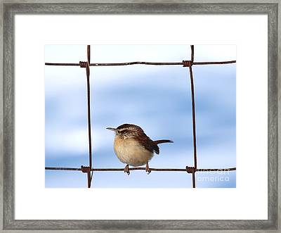 Carolina Wren Framed Print by Jack R Brock