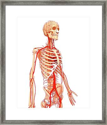 Human Arteries Framed Print by Pixologicstudio/science Photo Library