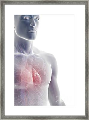 The Cardiovascular System Framed Print by Science Picture Co