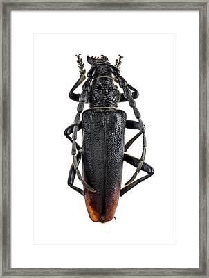 Longhorn Beetle Framed Print