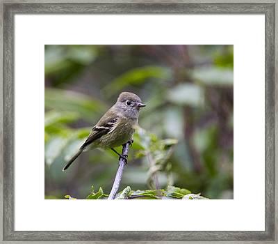 Alder Flycatcher Framed Print by Doug Lloyd