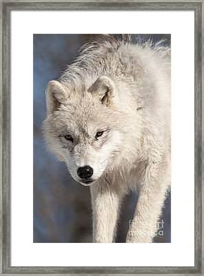 Arctic Wolf Pup Framed Print by Wolves Only