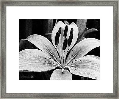 Asiatic Lily Named Connecticut King Framed Print