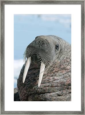 Atlantic Walrus Framed Print