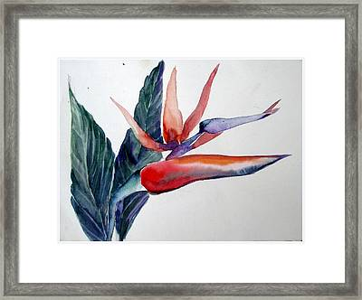 Bird Of Paradise Framed Print by Mindy Newman