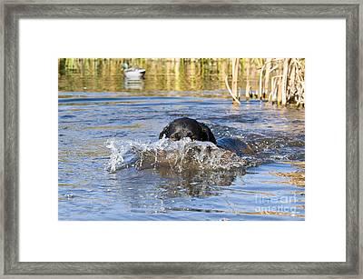 Black Labrador Retriever Framed Print
