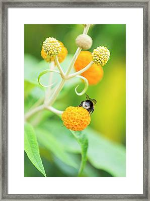 Bumble Bee Gathering Pollen Framed Print