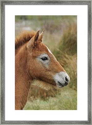 Camargue Horse Foal, Southern France Framed Print by Adam Jones