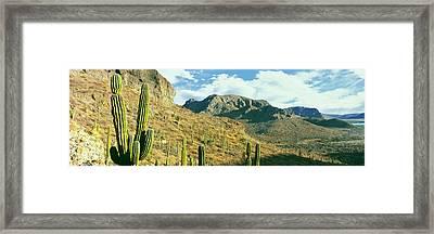 Cardon Cactus Pachycereus Pringlei Framed Print